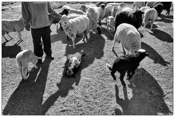 dog-on-back-with-sheep-2