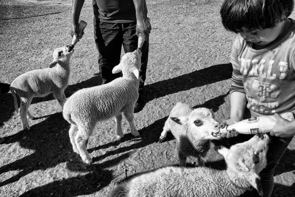 feeding-mae's-lambs-(2-people)2014