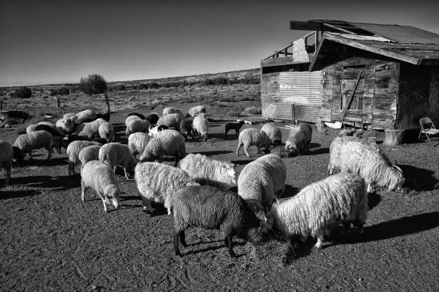 sheep-(out-of-the-corral)-2