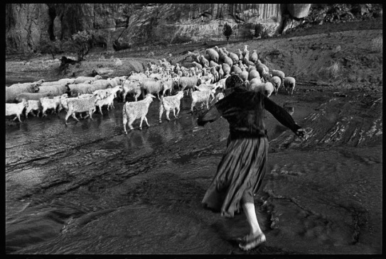 minnie chasing sheep through navajo creek tom_web