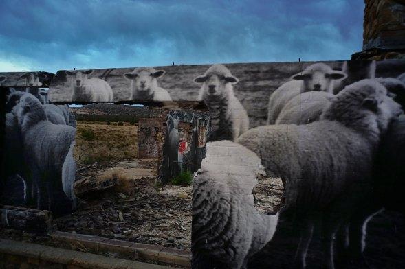 sheep-in-cow-springs